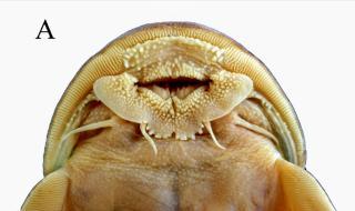 Oreoglanis omkoiensis