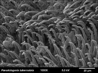 Pseudolaguvia tuberculata