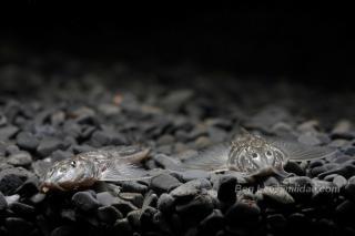 Sisor rabdophorus