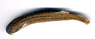 Trichomycterus chapmani