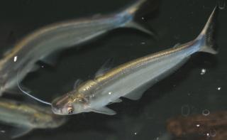 Clupisoma prateri
