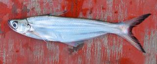 Eutropiichthys burmannicus
