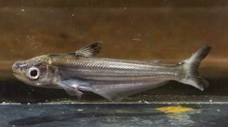 Eutropiichthys vacha