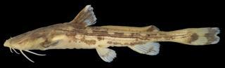 Acrochordonichthys ischnosoma