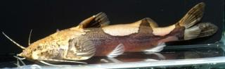 Akysis longifilis