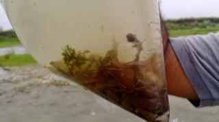 Amblyceps tenuispinis