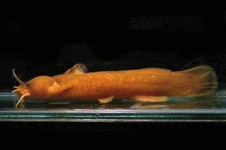 Liobagrus marginatus