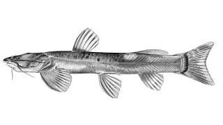 Amphilius lentiginosus