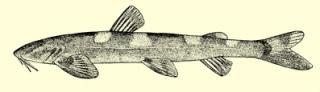 Amphilius rheophilus
