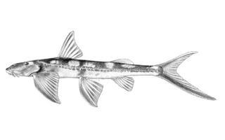 Congoglanis alula