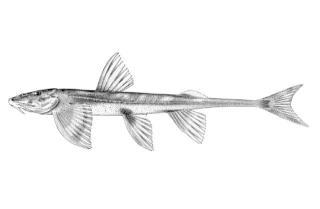 Doumea angolensis