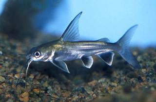 Common member of the subfamily ariinae