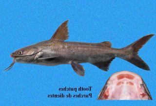 Cathorops dasycephalus