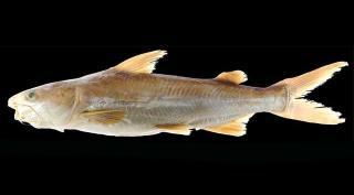 Cathorops taylori