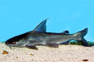 Cephalocassis jatius