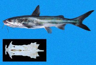 Galeichthys peruvianus