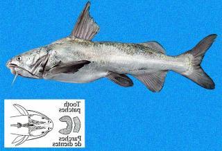 Notarius planiceps