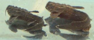 Amaralia hypsiura