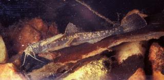 Bunocephalus doriae