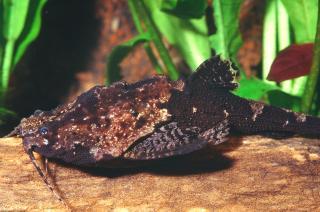 Bunocephalus verrucosus