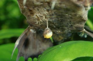 Platystacus cotylephorus