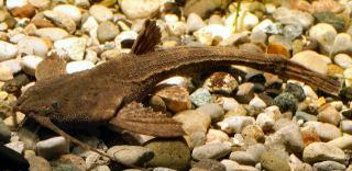 Pseudobunocephalus amazonicus