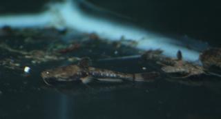Pseudobunocephalus quadriradiatus