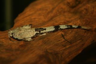 Pterobunocephalus dolichurus