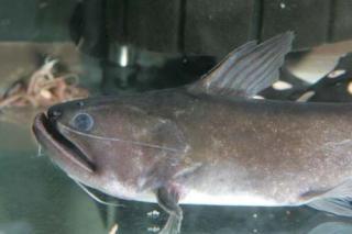 Asterophysus batrachus