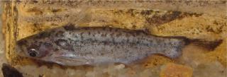 Entomocorus gameroi