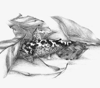Ferrarissoaresia meridionalis