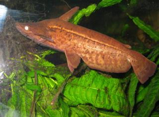 Tetranematichthys wallacei
