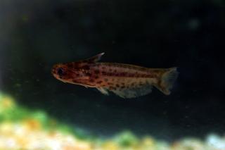 Trachelyichthys sp. `RIO TAPAJOS`