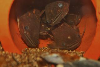 Trachelyopterichthys taeniatus