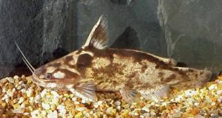 Trachelyopterus albicrux