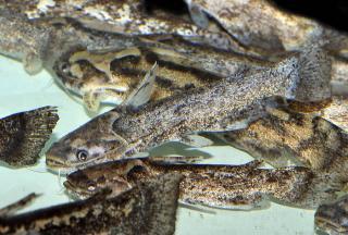 Trachelyopterus galeatus