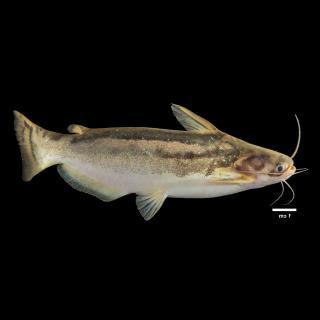 Trachelyopterus insignis