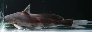 Bagrichthys macropterus