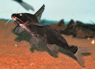 Bagrichthys majusculus