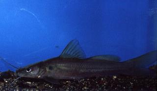 Hemibagrus furcatus