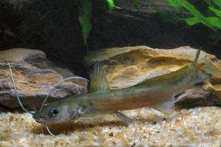 Hemibagrus macropterus