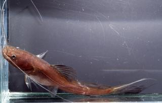 Hemibagrus olyroides