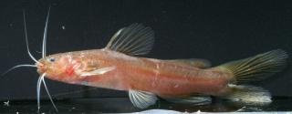 Nanobagrus immaculatus