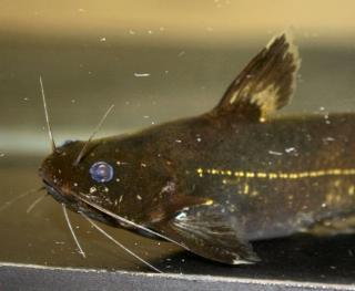 Pseudomystus cf. stenomus