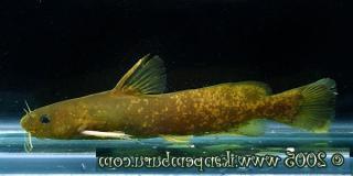 Tachysurus albomarginatus
