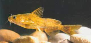 Tachysurus brevicaudatus