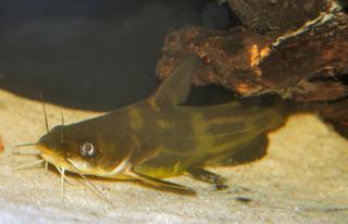 Tachysurus fulvidraco