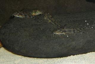 Aspidoras sp. (C035)