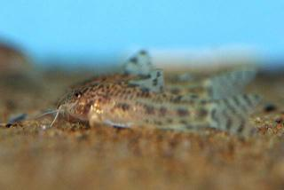 Aspidoras sp. (C119)