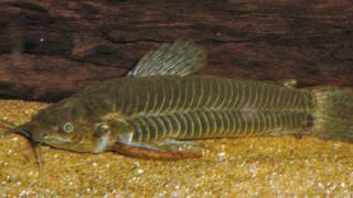 Callichthys callichthys